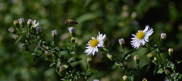 unterwegs zwischen Blüten