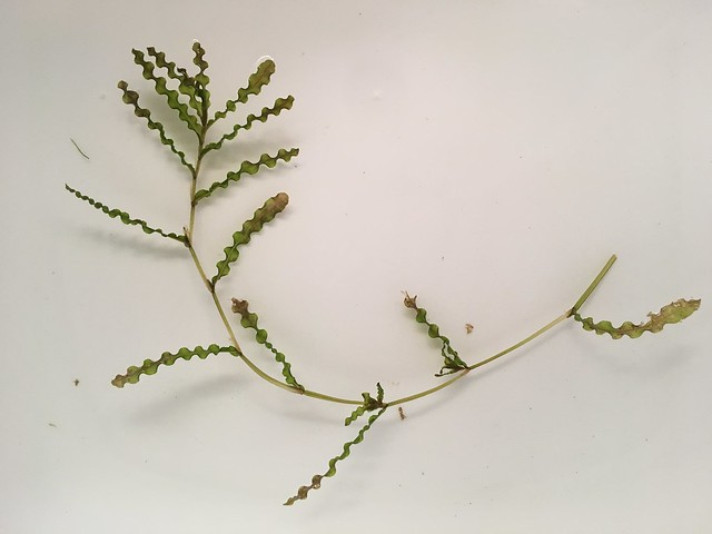 Curlyleaf pondweed (invasive)