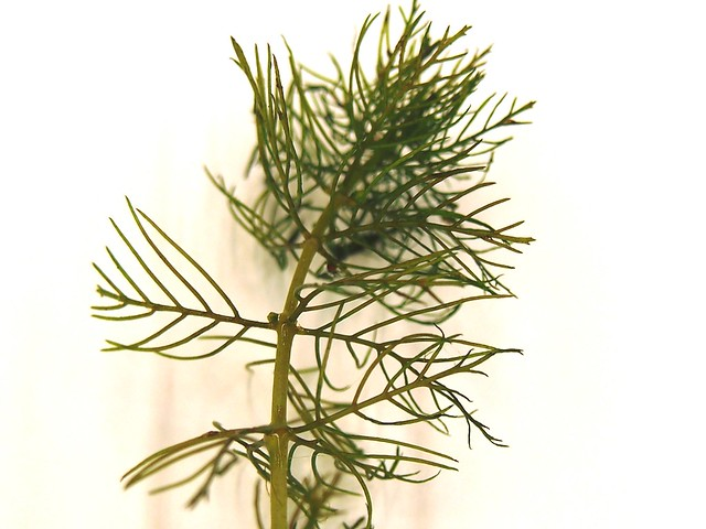 Northern watermilfoil (native)