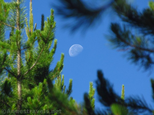 Moon through the pines that surround the Fairy Falls Trail, Yellowstone National Park, Wyoming