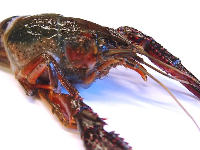 Red swamp crayfish (invasive)