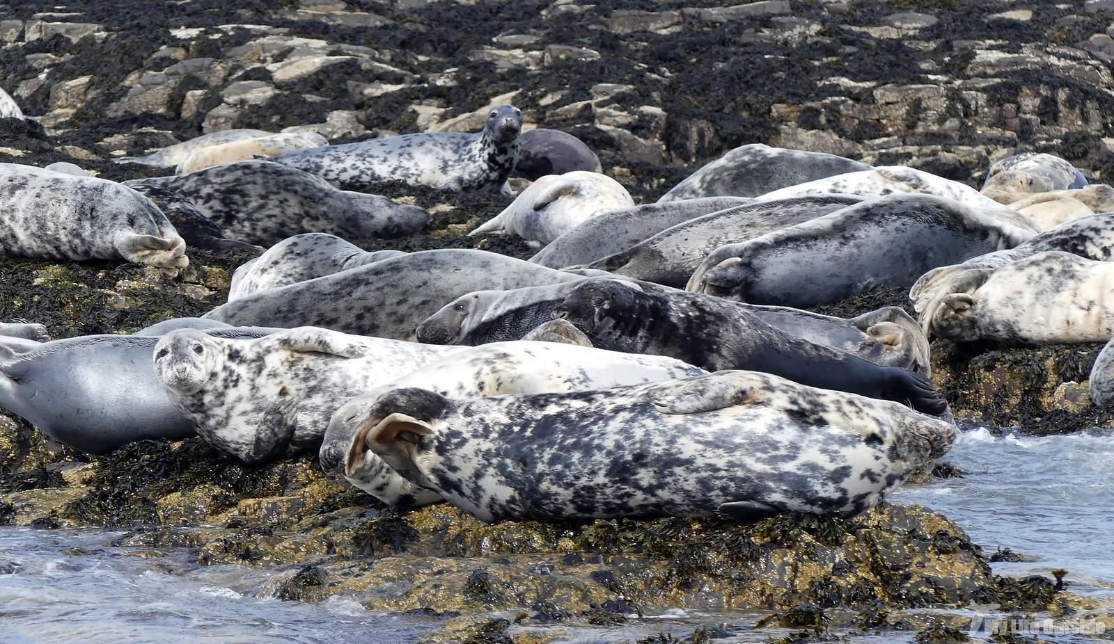 2019_05_0084 - Farne island Seals