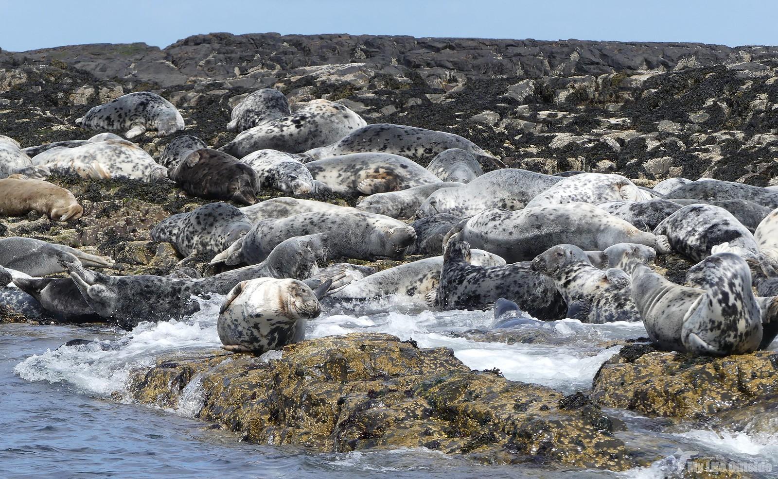 2019_05_0083 - Farne island Seals