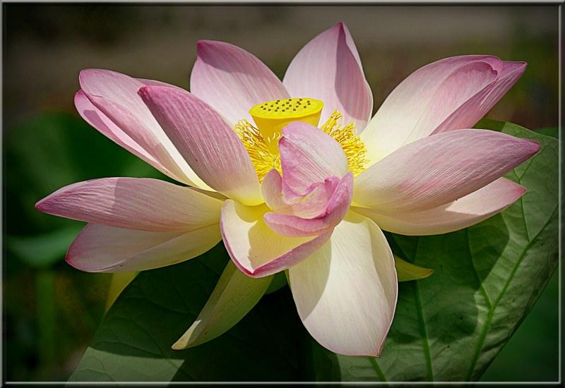 Fleur de Lotus. 48827496118_05d590a553_c