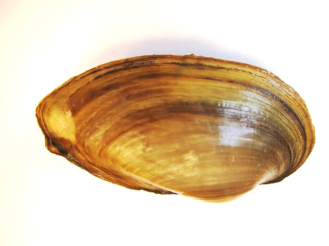 Freshwater mussels (native)