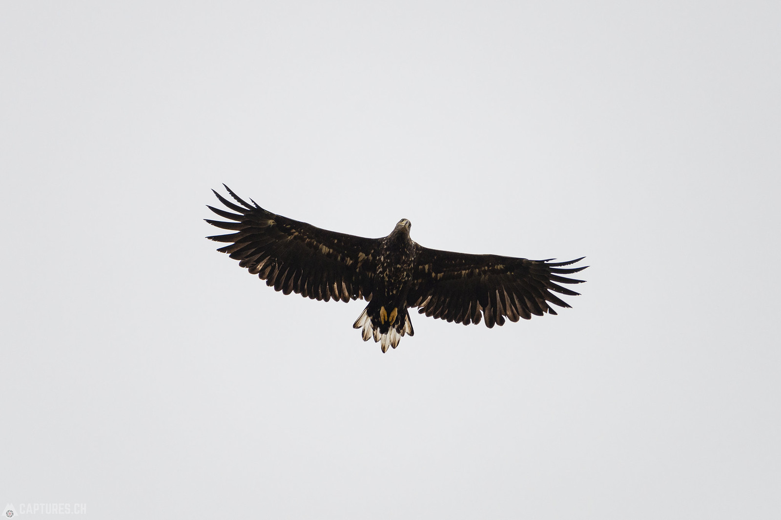 Eagle on the watch - Narsarsuaq