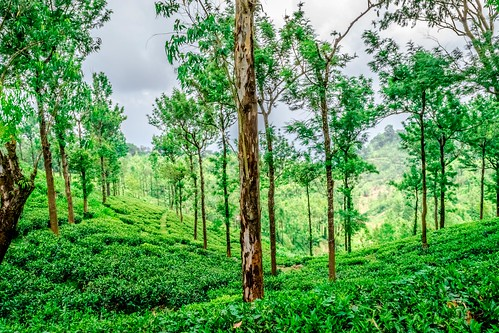 kerala india nikon palakkad nelliyampathy tea plantation green leaves bokeh outdoor blue sky d5300