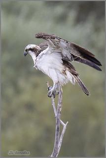 Aguila pescadora