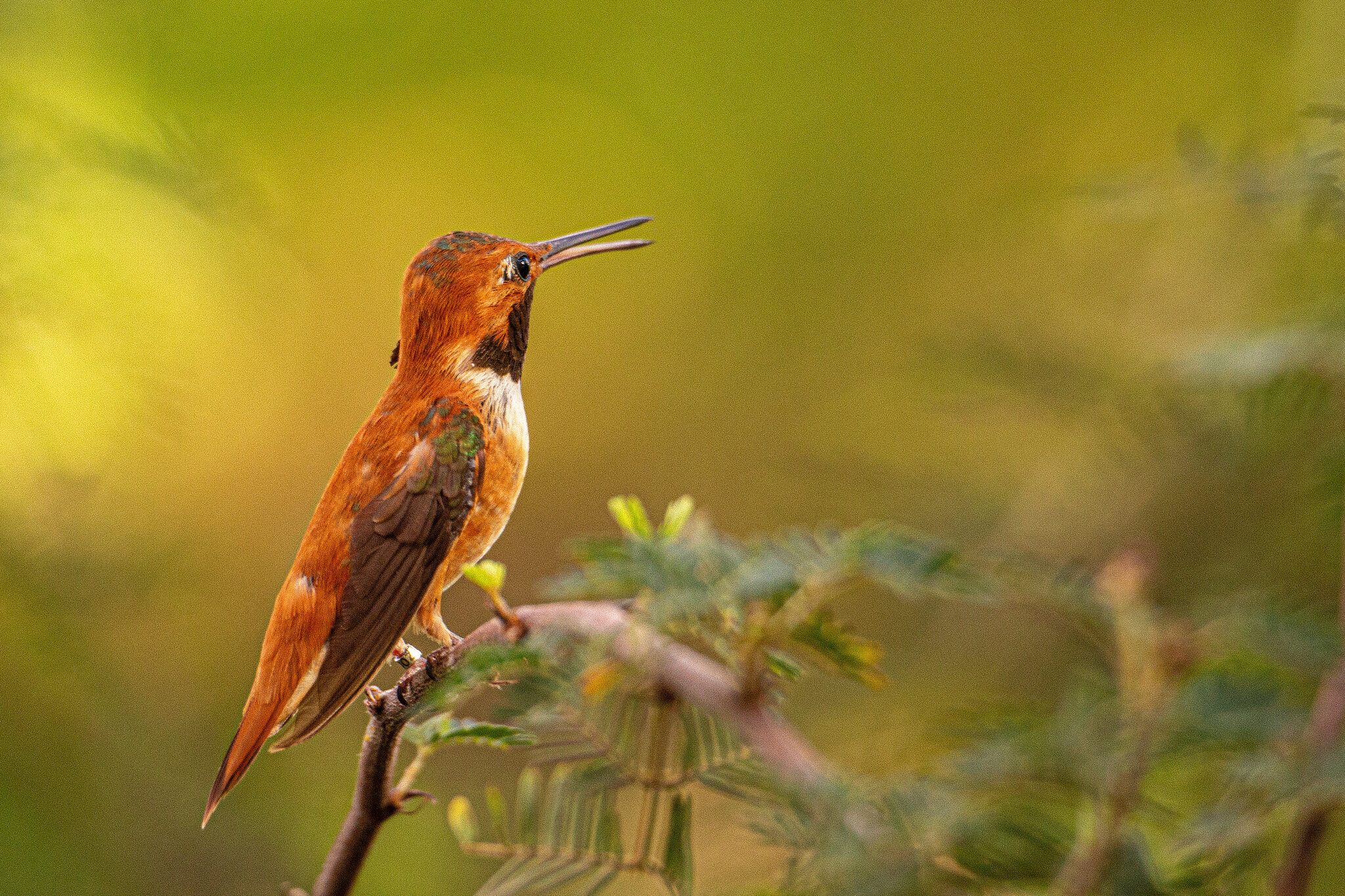 Rufous hummingbird, perched
