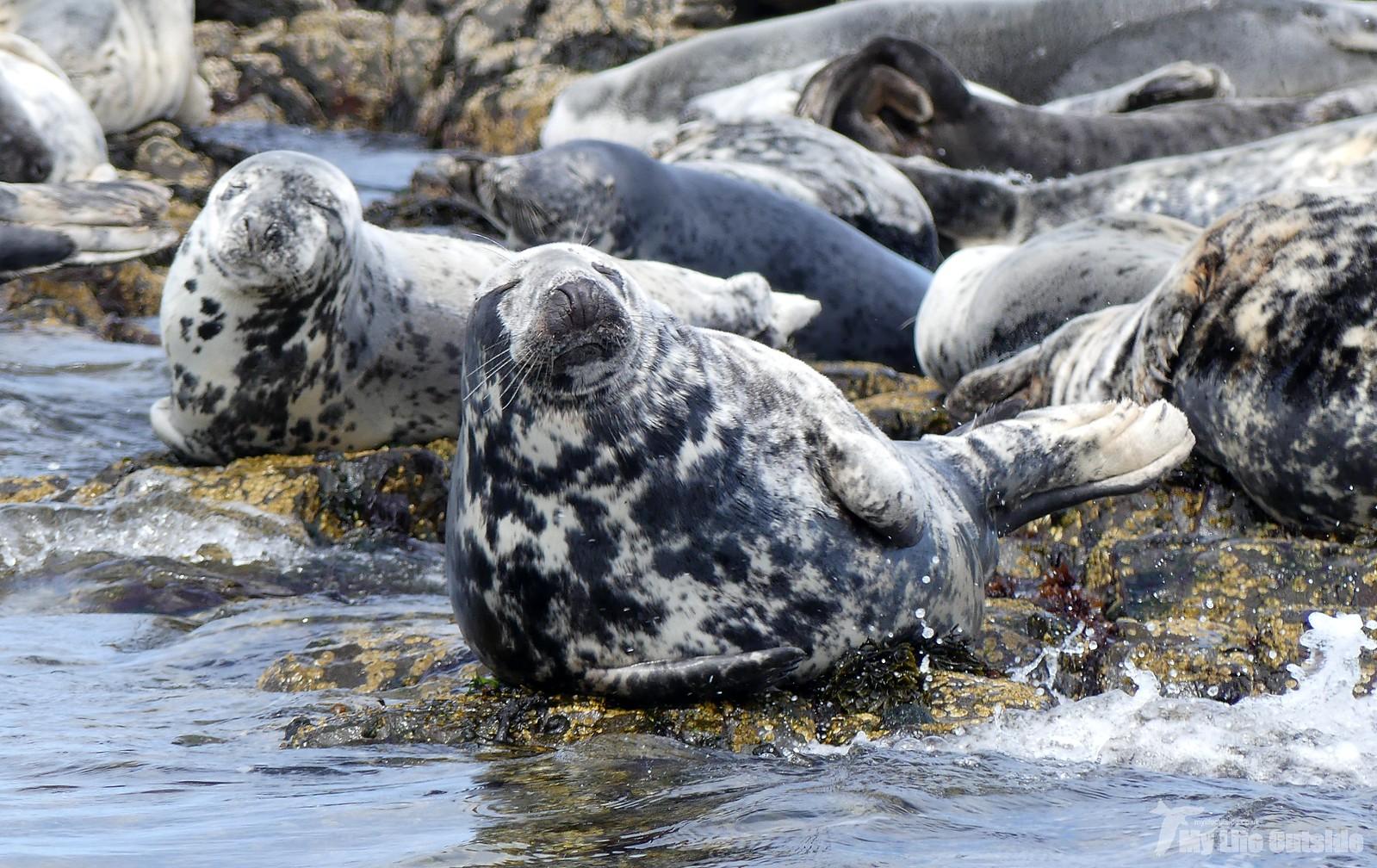2019_05_0088 - Farne island Seals