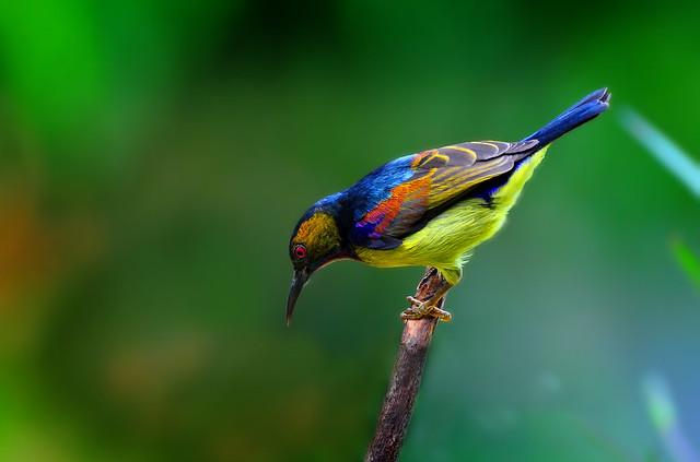 Blue Backed Sunbird