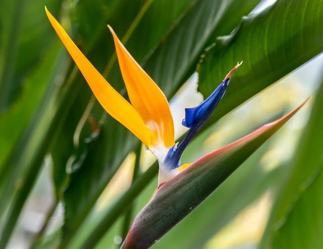 Bird of Paradise Flower, Blue  3