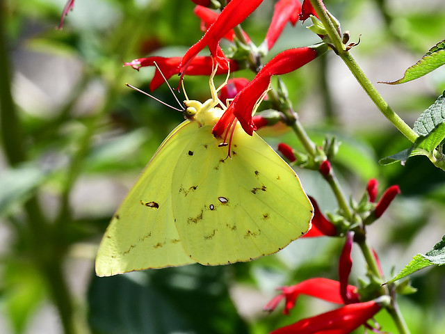 Cloudless Sulphur taken at the U of T Experiment Station near Cookeville, TN