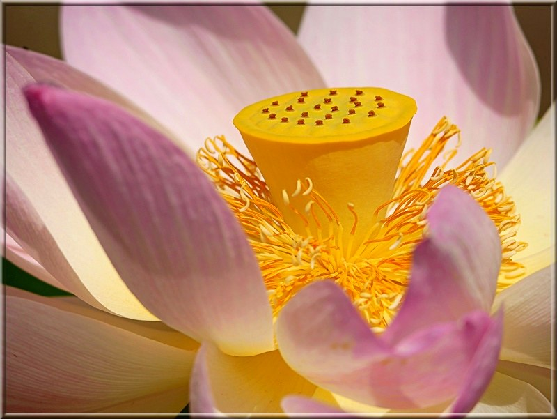 Fleur de Lotus. 48827874011_c3346f313e_c