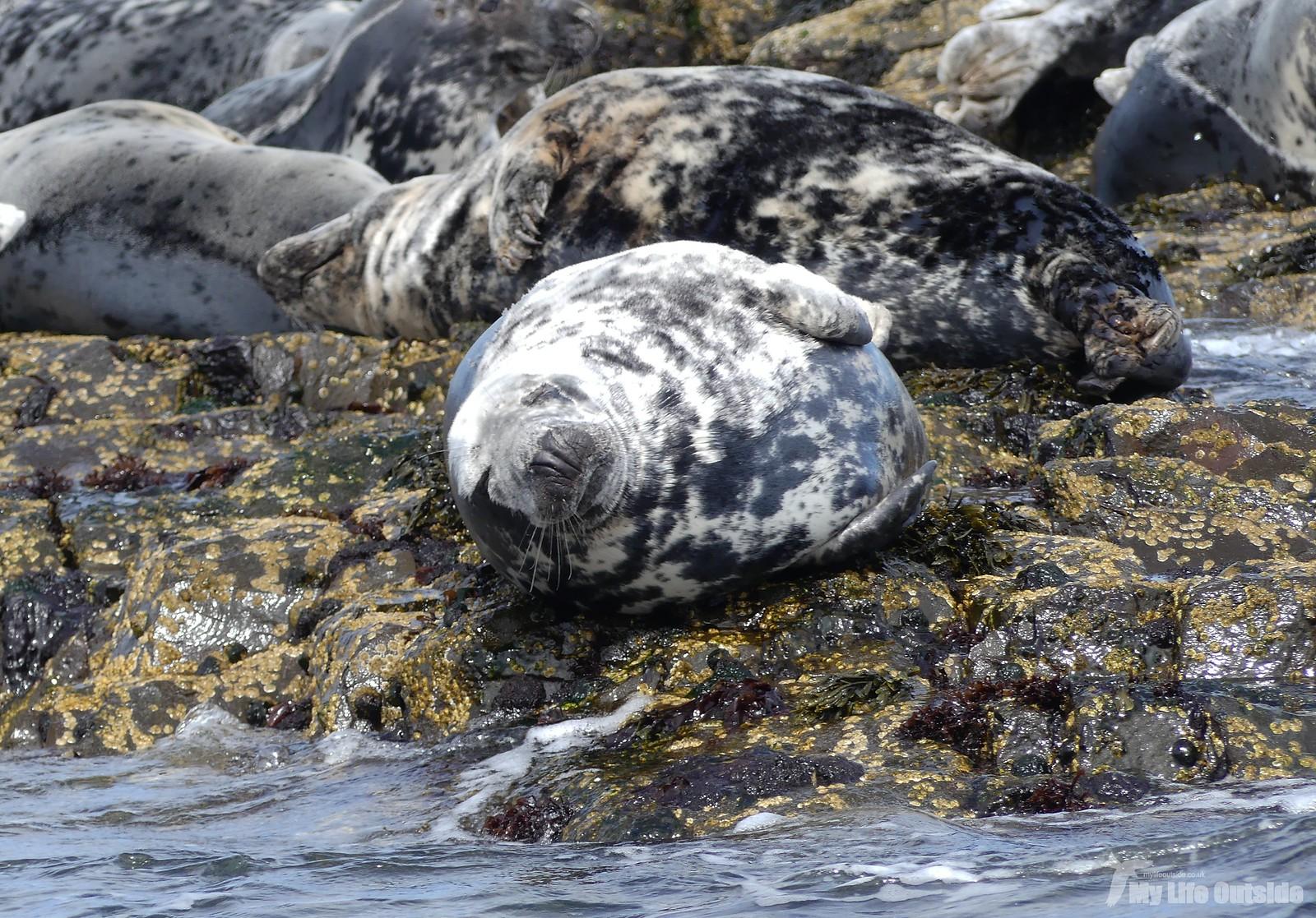 2019_05_0086 - Farne island Seals