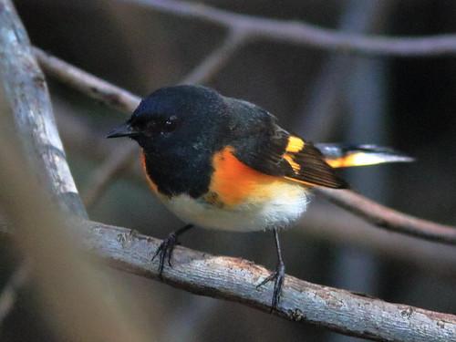 American Redstart male 07-20191001