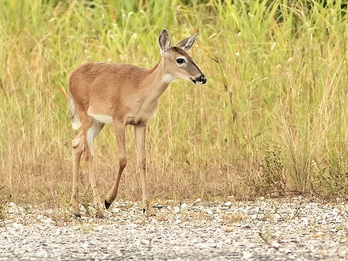 White-tailed Deer yearling fawn 01- 20191001