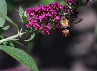 Sphinx colibri / Hummingbird Hawk-moth