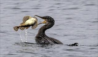 Mull 2019 - Cormorant and Scorpion Fish