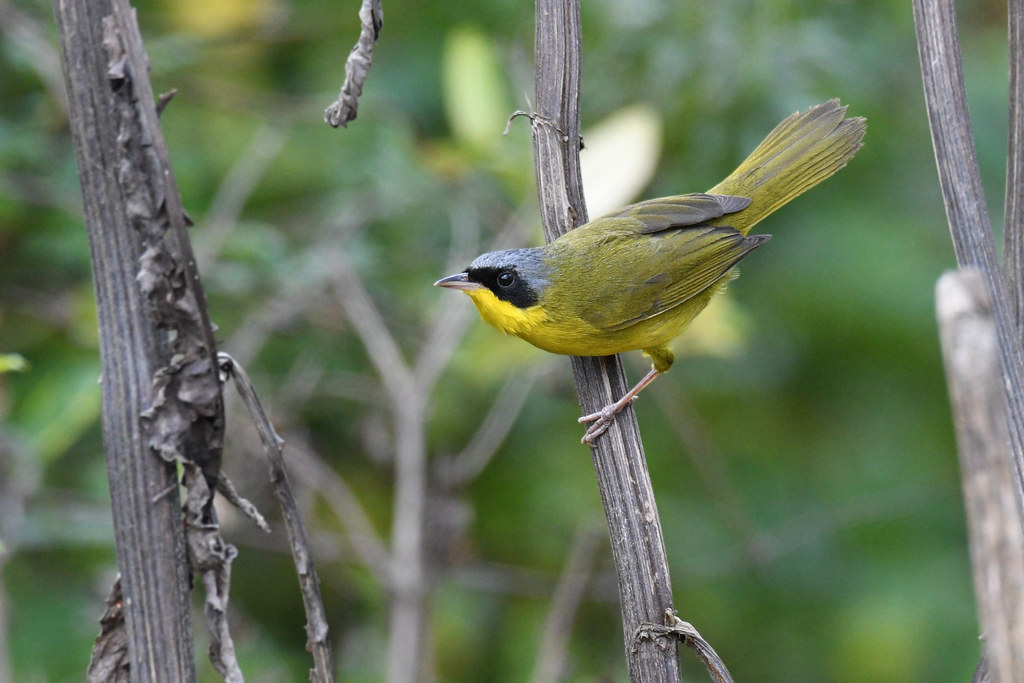 Masked Yellowthroat // Pia-cobra