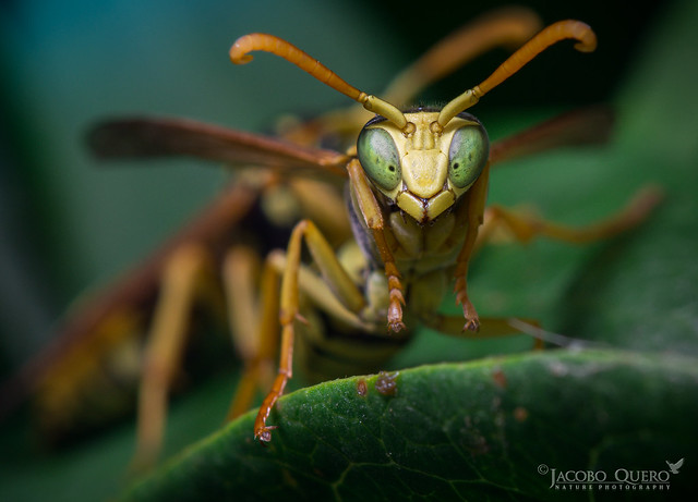 Avispa papelera/ Paper wasp (Polistes gallicus)