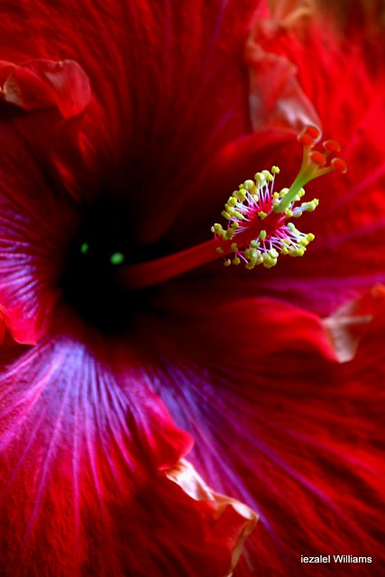 Red Hibiscus by iezalel williams IMG_51091