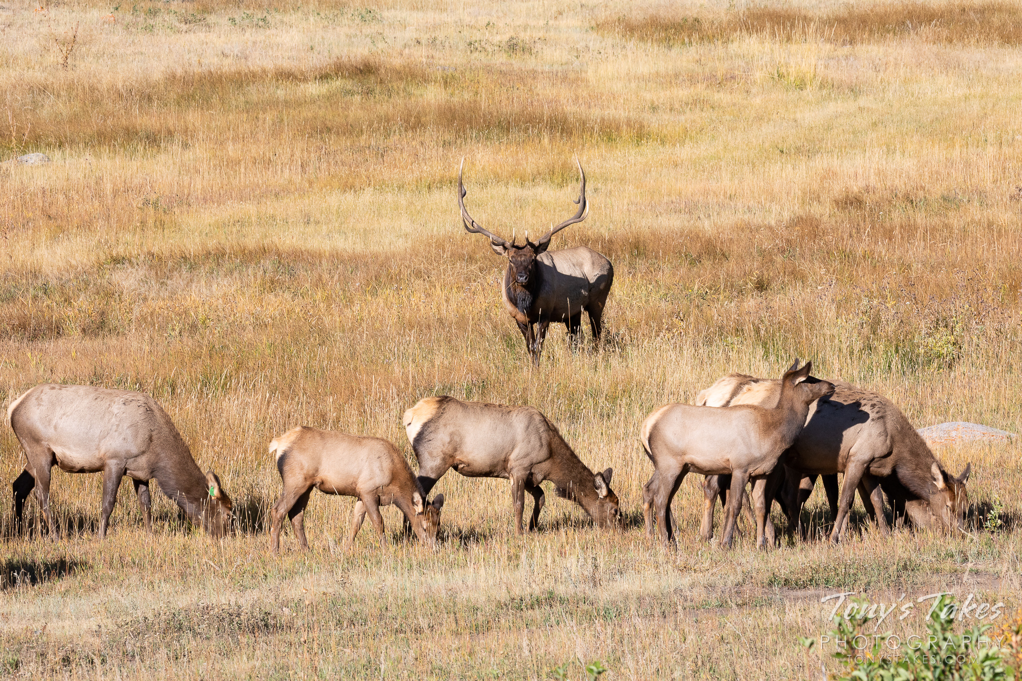 An elk bull stands guard over his harem. (© Tony's Takes)