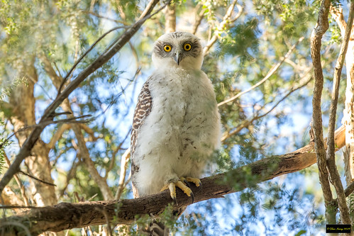 ninoxstrenua ninox strenua powerfulowl powerful owl galaringireserve carlingford nsw sydney australia leastconcern immature