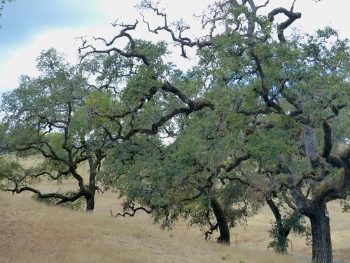 Oak Trees - EXPLORE #75, 10.2.19.