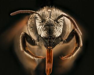 Megachile apicalis, f, face, Yolo Co., CA_2018-11-16-13.00.26 ZS PMax UDR