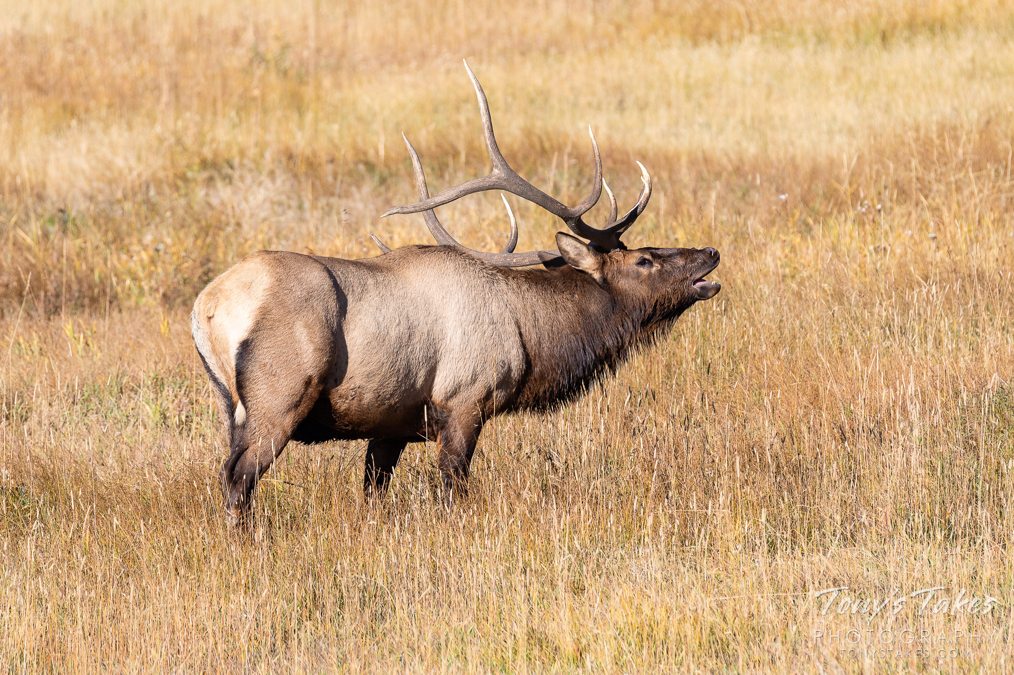 Elk bull calls out to the ladies for Wapiti Wednesday