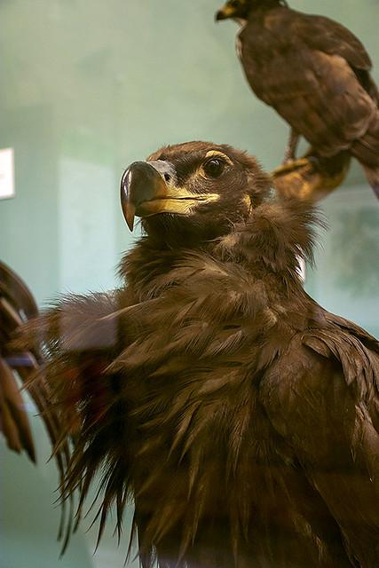 Taxidermy eagle
