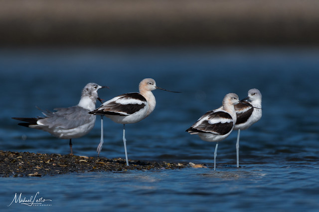 Avocets and Laughing Gull