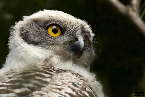 ninoxstrenua ninox strenua powerfulowl powerful owl immature galaringireserve carlingford nsw australia leastconcern
