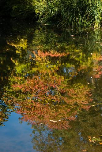 Reflection, autumn: liquidambar