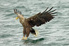 White-tailed Eagle, Loch na Keal, Isle of Mull