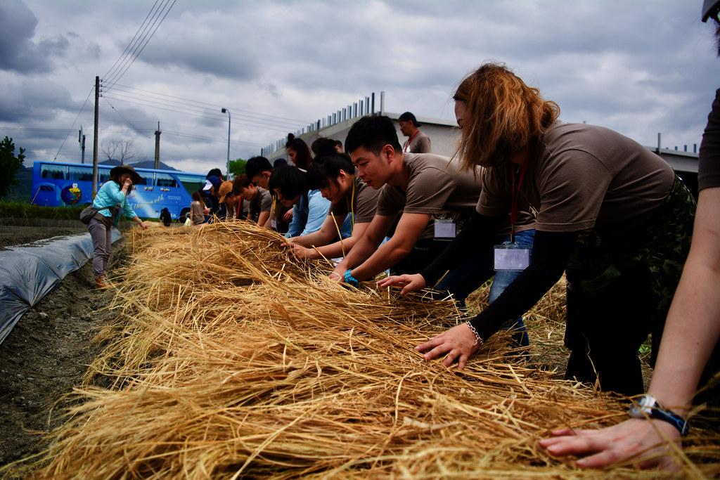 種完蒜,撒完稻穀,再鋪上稻草。攝影:洪碩辰
