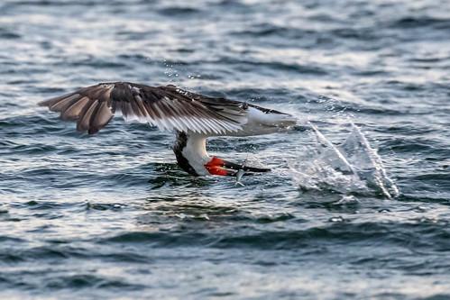 outdoor seaside dennis adair sea sky water nature wildlife 7dm2 7d ii ef100400mm ocean canon florida bird