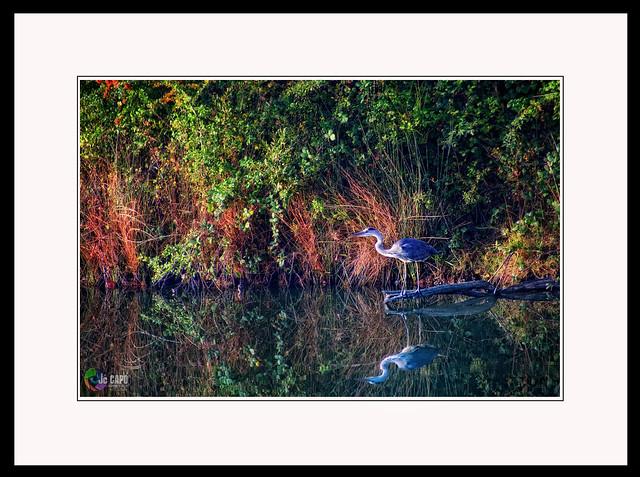 """"""" comme Narcisse, mon héron, poussé par la faim, surprit son reflet dans l'eau du lac et en tomba amoureux ou  pas …..  ."""