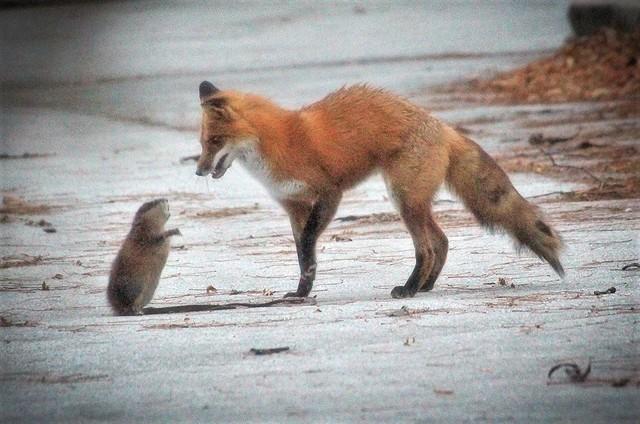 Please Don't Kill Me Mr. Fox