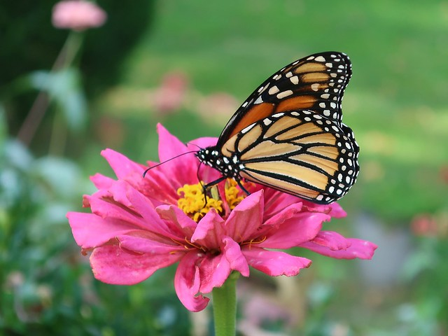 Daily Colours - Butterfly and Zinnia