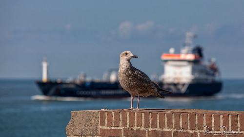 Juvenile gull on the lookout