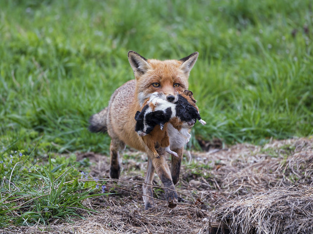 Mother fox with guinea pigs