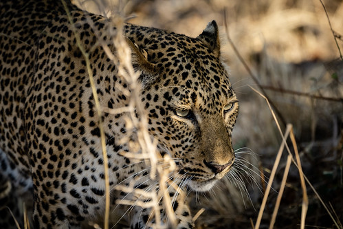 Hunting Leopard