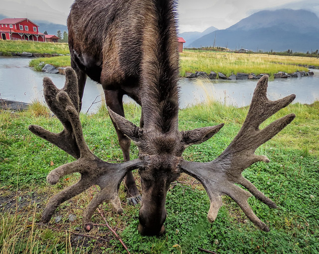 Bull Moose Antlers (in explore)