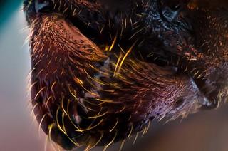 Ant's Mandible