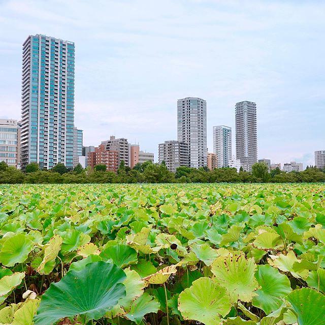 #ハス #蓮 #lotus #上野恩賜公園 #UenoPark #不忍池 #しのばずのいけ #台東区 #Taitoku #ShinobazuPond #Shinobazu #Pond #Nelumbonucifera #कमल #연꽃 #莲 #上野 #Ueno #公園 #park #東京 #Tokyo #日本 #japan
