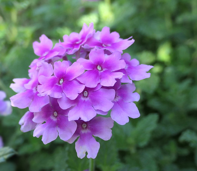 Pink Bicolor Verbena