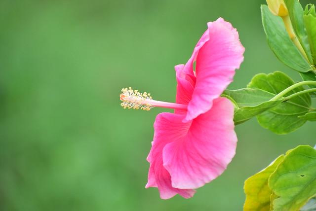 (sensational  colour of hibiscus )DSC_3858