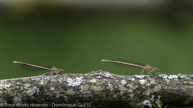 Agrions à larges pattes - White-legged damselfly